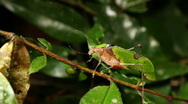 Stock Video Footage of Leaf mimic katydid (Pycnopalpa cf. bicordata)