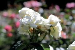 White roses , closeup       Stock Footage