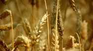 Stock Video Footage of Wheat