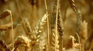Wheat Stock Footage