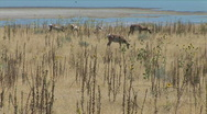 Stock Video Footage of Deer on Antelope Island-zoom