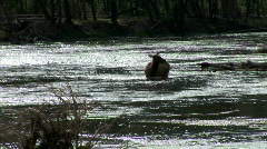 Elk in Stream-backlight-pan Stock Footage