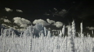 Infrared flora: wheat field 2 Stock Footage