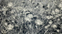 Infrared flora: field of camomile flowers in wind 1 Stock Footage