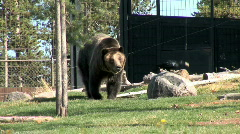 Grizzly in Park-pan Stock Footage