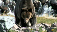 Grizzly Looks for Food-cu-pan Stock Footage