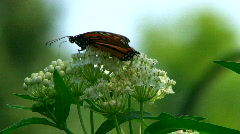 Monarch Butterfly perched on a flower Stock Footage