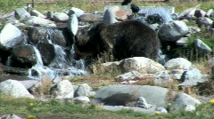 Grizzly-ws-pan Stock Footage