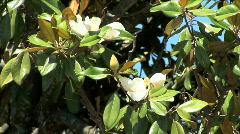 Magnolia Blossoms-xcu-zoom Stock Footage