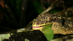 Stock Video Footage of Turnip tailed gecko (Thecadactylus solimoensis) feeding 5