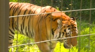 Tiger in zoo, #2 Stock Footage