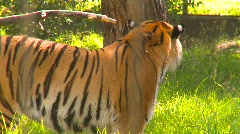 Tiger grinning Stock Footage