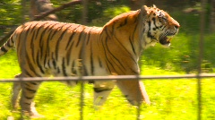 Tiger in zoo, #3 Stock Footage