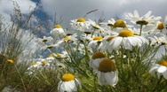 Stock Video Footage of Blooming Daisies, Summer day