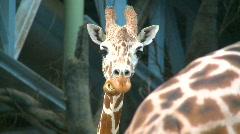 Giraffe, looking straight ahead Stock Footage