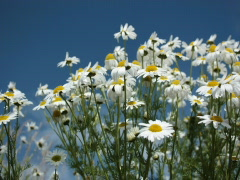 Blooming Daisies, Summer day Stock Footage