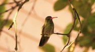 Stock Video Footage of Cute baby gilded Humming Bird perching on branch