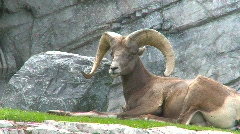 Rocky mountain sheep resting Stock Footage