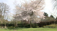 Japanese Cherry 1 Stock Footage