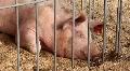 Pig life HD Footage