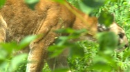 Stock Video Footage of cougar in habitat, zoo, #2