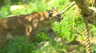 Stock Video Footage of cougar in habitat, zoo, #1
