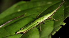 Green cryptic grasshopper on a leaf - stock footage