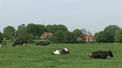Dutch Cows 3 Stock Footage