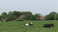 Stock Video Footage of Dutch Cows 3