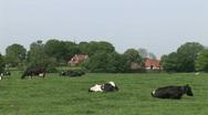 Dutch Cows 3 Stock Footage
