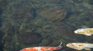 Japanese Koi Stock Footage