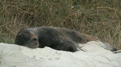 Fur seal, New-Zealand Stock Footage