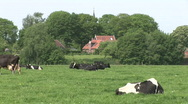 Stock Video Footage of Dutch Cows 4
