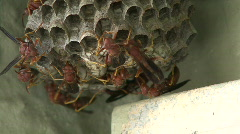 A Hive Of Red Paper Wasp Stock Footage