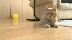 Pets - House Cat 1920x1080 Stock Footage