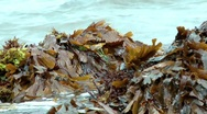 Stock Video Footage of Seaweed