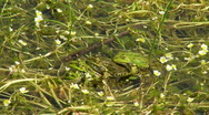 Stock Video Footage of Frogs singing in the water