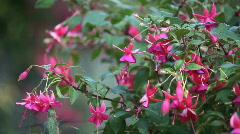 Hummingbird feeds on pink flowers Stock Footage