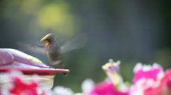 Hummingbird at feeder with flowers Stock Footage