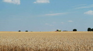 Stock Video Footage of Combine harvesting  wheat