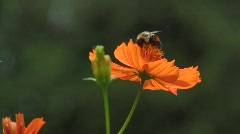 Orange flower with bee2 Stock Footage