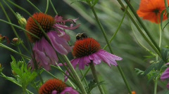 Purple Cone flower with bee1 Stock Footage