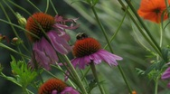 Stock Video Footage of Purple Cone flower with bee1
