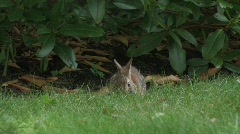 Rabbit eating Stock Footage