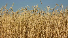 High stems of ripe wheat under a blue sky Stock Footage