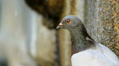 Pigeon drinking 2 Stock Footage