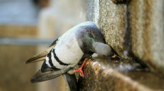 Pigeon drinking - stock footage
