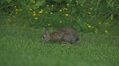 Rabbit on lawn Stock Footage