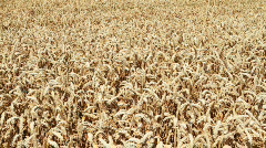 Field of wheat, close up Stock Footage