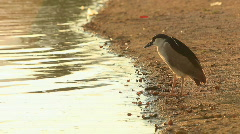 Bird at Water's Edge Black-Crowned Night Huron Stock Footage